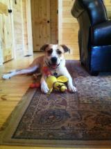 Photo of Bailey at her new home after about a week. New toy was a gift from a new dog friend.