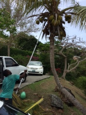 Coconut Tree Tree 01